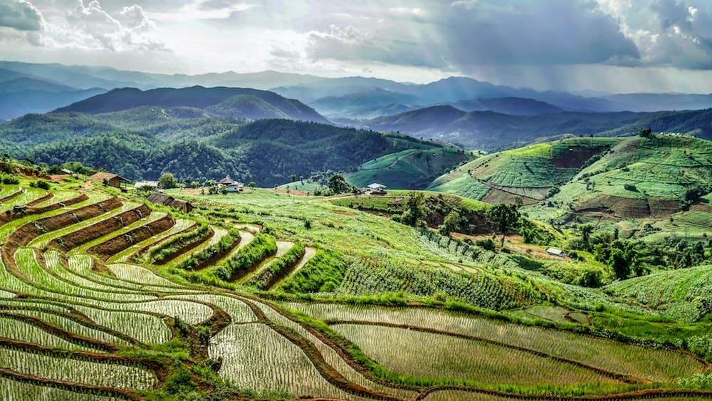 Rijstvelden met rijst die verbouwd wordt